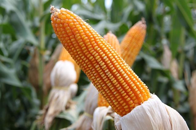 How Microwave Corn On The Cob - BillLentis.com