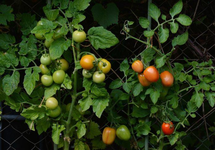 Home Vegetable Garden - Bill Lentis Media